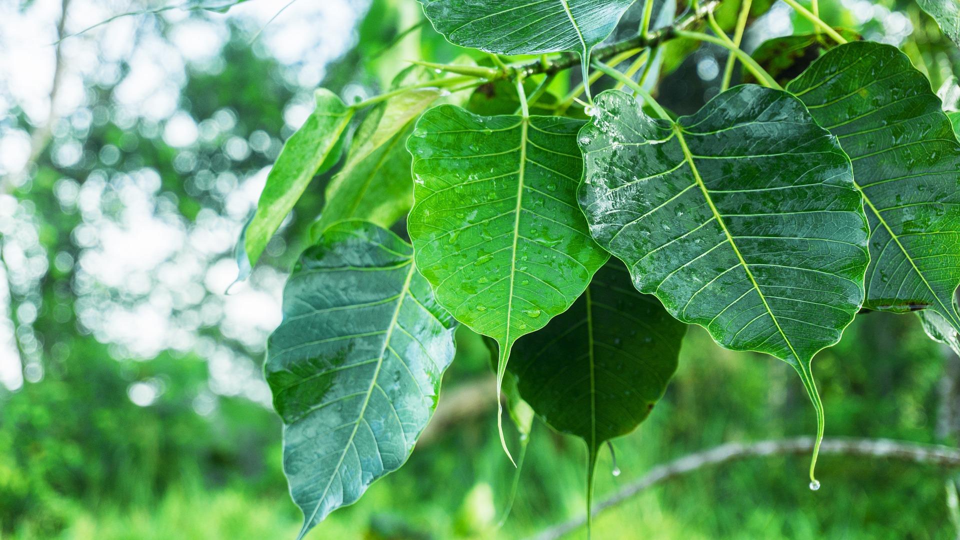 Räucherstoff Bodhi-Baum